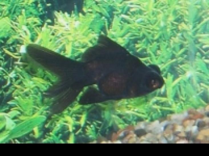 Aquarium   koudwater vissen   Goudvissen   Sluierstaart vissen   Sluierstaart   Leeuwekop